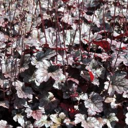 Heuchera `Plum Pudding´