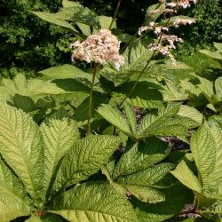 Rodgersia aesculifolia 'Werner Müller'