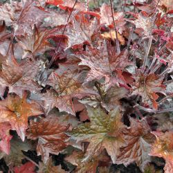 Heuchera `Molly Bush´