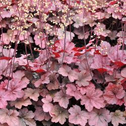 Heuchera `Root Beer´