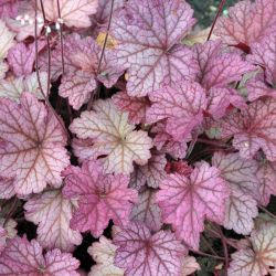 Heuchera `Berry Smoothie´
