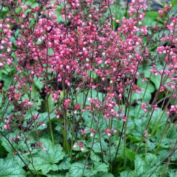Heuchera `Paris´